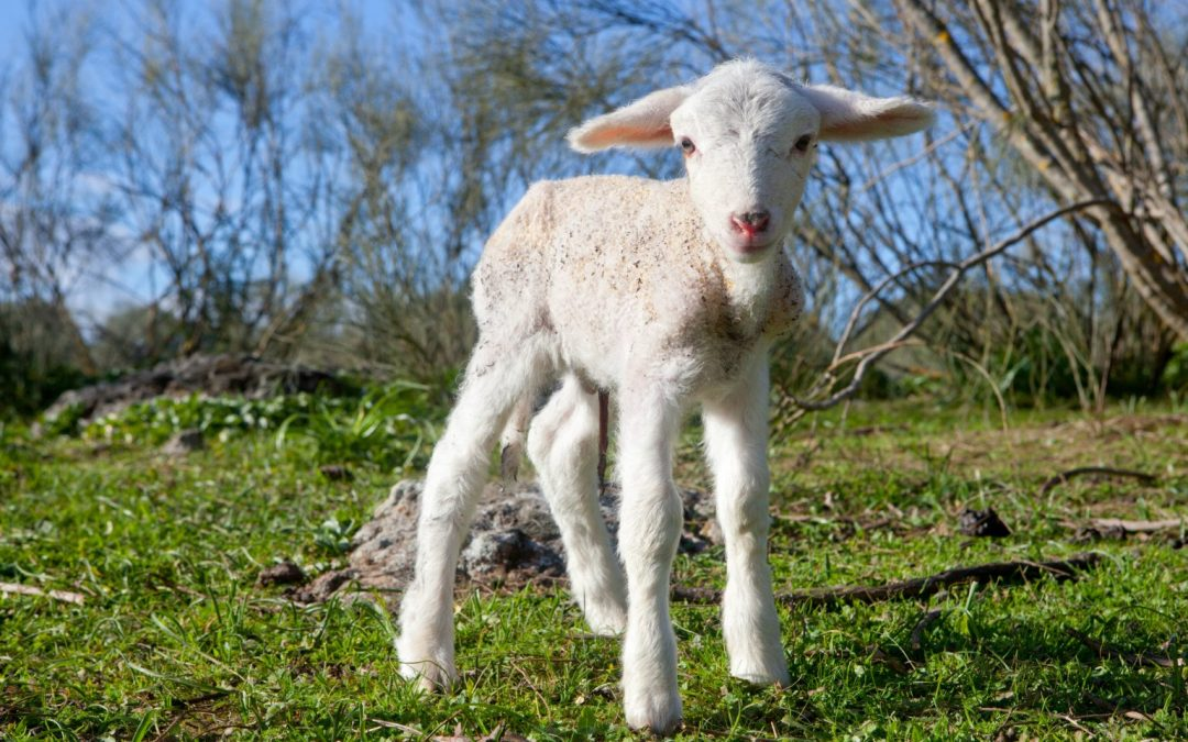 Lambing event returns to Houghall Farm